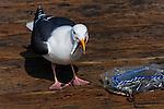 Seagull stealing bait on Seal Beach pier.