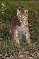 Siberian Lynx about to stand up while sitting in the grass - CA