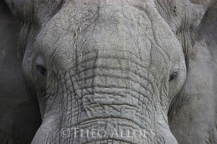 African elephant (Loxodonta africana), close-up of mud-covered head, Okavango Delta, Moremi Game Reserve, Botswana