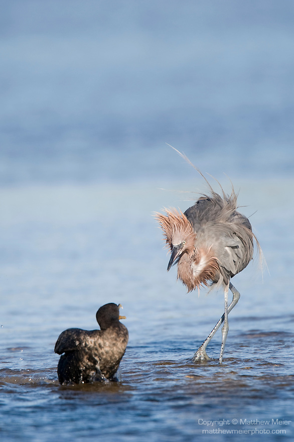 Ding Darling National Wildlife Refuge, Sanibel Island, Florida; a Reddish egret (Egretta rufescens) bird chases Double-crested Cormorant (Phalacrocorax auritus) birds away from its desired fishing spot © Matthew Meier Photography, matthewmeierphoto.com All Rights Reserved