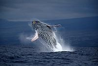 A breaching humpback whale,  Megaptera novaeangliae, off the Big Island of Hawaii.