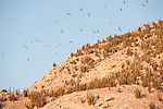 Sea of Cortez, Baja California, Mexico; Brown Booby (Sula leucogaster) birds and Magnificent Frigatebirds (Fregata magnificens) flying above a rocky cliff on San Pedro Martir Island, covered with Cardon Cactus (pachycereus pringlei), against a blue sky at sunrise