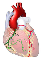 Biomedical illustration of a side view of the heart with normal aortic root and coronary arteries.