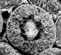 Cross section of a human testis tubule filled with sperm. SEM, X363  **On Page Credit Required**