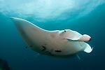 A giant oceanic manta ray (Manta birostris) underside view,, Dampier Strait, Raja Ampat, West Papua, Indonesia