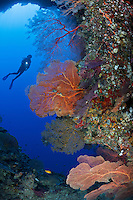 RH0442-D. Scuba diver (model released) exploring submerged cave on whose walls grow a variety of sea fans (including Annella mollis, formerly Subergorgia mollis, and Melithaea sp.). Palau, Pacific Ocean.<br /> Photo Copyright &copy; Brandon Cole. All rights reserved worldwide.  www.brandoncole.com