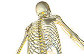 An inferior posterolateral view (right side) of the nerve supply of the upper body.   Royalty Free