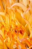 Yellow dahlia flower close view.