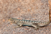 425900004 a wild male great basin fence lizard sceloporus occidentalis longipes perches on a rock along chalk cliffs road bishop california united states