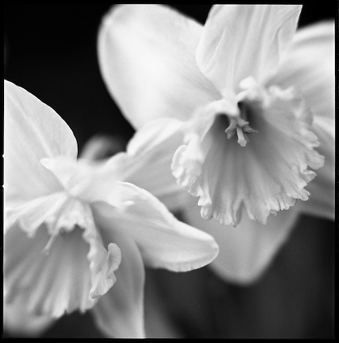 Daffodil I by Paul Cooklin