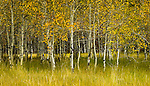 Pointillist Aspens<br />