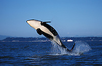 ns14. Orca (Orcinus orca) breaching. British Columbia, Canada, Pacific Ocean..Photo Copyright © Brandon Cole. All rights reserved worldwide.  www.brandoncole.com..This photo is NOT free. It is NOT in the public domain. This photo is a Copyrighted Work, registered with the US Copyright Office. .Rights to reproduction of photograph granted only upon payment in full of agreed upon licensing fee. Any use of this photo prior to such payment is an infringement of copyright and punishable by fines up to  $150,000 USD...Brandon Cole.MARINE PHOTOGRAPHY.http://www.brandoncole.com.email: brandoncole@msn.com.4917 N. Boeing Rd..Spokane Valley, WA  99206  USA.tel: 509-535-3489