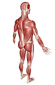 A superior posterolateral view (right side) of the muscular system. Royalty Free