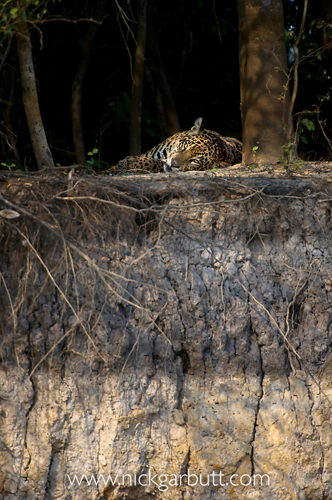 Wild female Jaguar (Panthera onca palustris) resting on the banks of the Piquiri River (a tributary of Cuiaba River). Northern Pantanal, Brazil.