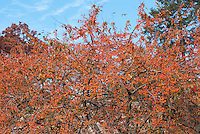 Crabapple Indian Magic in fruits with blue sky showing many branches laden with crab apples