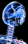 An inferior anterolateral view (right side) of the bones of the head and neck. Royalty Free