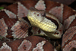Jumping Pitviper Snake, Atropoides mexicanus, Central American ,jumping tommygoff, mainly nocturnal, but sometimes basks in sun, in leaflitter, tail used as a lure, camouflaged, venemous.Central America....
