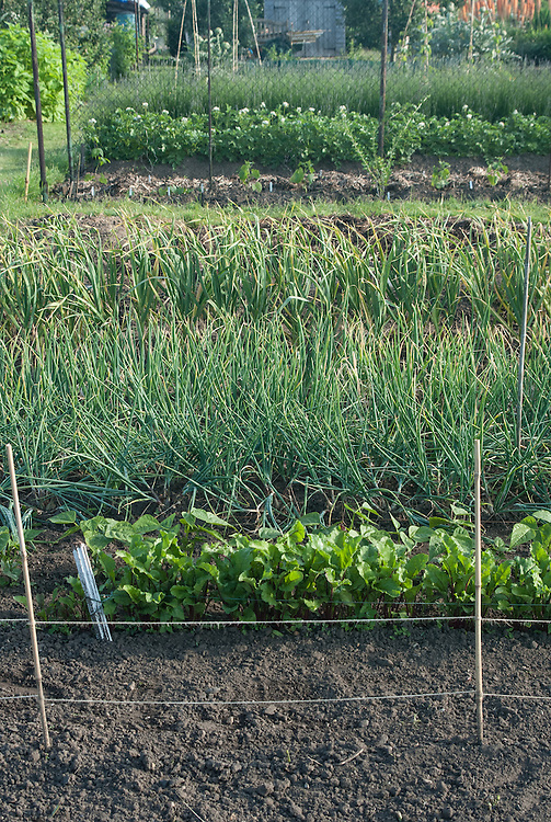 Rows of beetroot, shallots and garlic on an allotment plot, mid June.