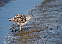 Greater Yellowlegs standing in mudflat with feathers ruffled
