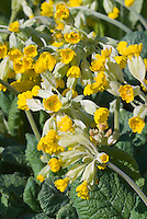 Primula veris cowslip, from Shakespeare's time, spring yellow flower