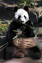 April 1, 2011, Tokyo, Japan - A female giant panda &quot;Shin Shin&quot; eats bamboo at Ueno Zoo in Tokyo on Friday, April 1, 2011, on the first day its appearance with a fellow male panda &quot;Ri Ri&quot;, not seen, to the public. Thousands of visitors flocked to catch a first glimpse of a pair of pandas on loan from China, in a welcome respite from the gloom over last month's massive earthquake and tsunami in northern Japan. (Photo by Daiju Kitamura/AFLO) [1045] -ty-.