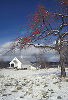 AJ4630, apple tree, winter scene, Vermont, Red apples on an apple tree after the first snow on Templeton Farm in East Montpelier in Washington County in the state of Vermont.