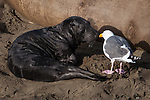 Elephant seal pup meets sea gull at Piedras Blancas, CA