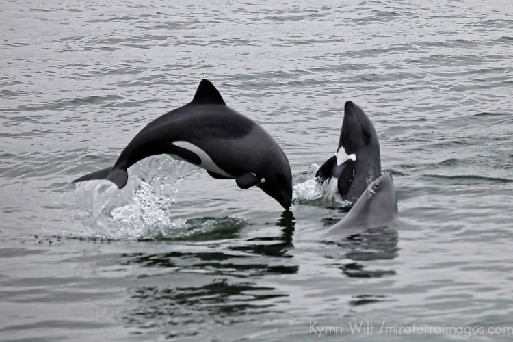 Haviside's Dolphin | Mira Terra Images Travel Photography