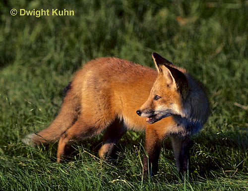 FX03-016z  Red Fox - several months old - Vulpes vulpes