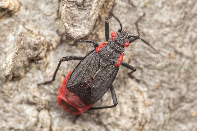 An adult Red-shouldered Bug (Jadera haematoloma), short-winged form (brachypterous) perches on the side of a tree.