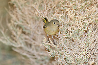 554800021 a wild adult ruby-crowned kinglet regulus calendula perches in a small desert plant in the northern mojave desert in central california