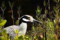 Close-up of a night-crowned night heron. A very noisy bird, but one of the most beautiful of our native herons.