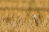 Sandhill Cranes during autumn migration at Creamer's Field Migratory Waterfowl Refuge, Fairbanks, Alaska