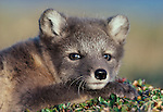 An arctic fox in its gray summer coat relaxes in the warming rays of the late afternoon sun near its densite.