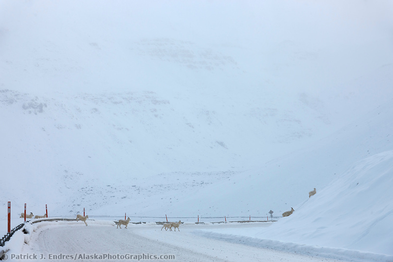 Dall sheep cross the James Dalton Highway, Atigun Pass, Brooks range, Alaska.