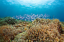 Scuba diving the healthy hard coral reefs of Indonesia. Tatawa Besar East Dive Site, Bali