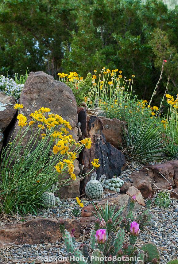 Hymenoxis acaulis flowering with cactus, Echinocereus reichenbachii in David Salman New Mexico xeric rock garden