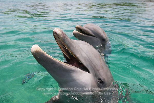 qk0250-D. Bottlenose Dolphins (Tursiops truncatus). Honduras, Caribbean Sea..Photo Copyright © Brandon Cole. All rights reserved worldwide.  www.brandoncole.com..This photo is NOT free. It is NOT in the public domain. This photo is a Copyrighted Work, registered with the US Copyright Office. .Rights to reproduction of photograph granted only upon payment in full of agreed upon licensing fee. Any use of this photo prior to such payment is an infringement of copyright and punishable by fines up to  $150,000 USD...Brandon Cole.MARINE PHOTOGRAPHY.http://www.brandoncole.com.email: brandoncole@msn.com.4917 N. Boeing Rd..Spokane Valley, WA  99206  USA.tel: 509-535-3489
