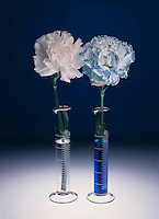 CAPILLARY ACTION: CARNATIONS IN WATER<br />
