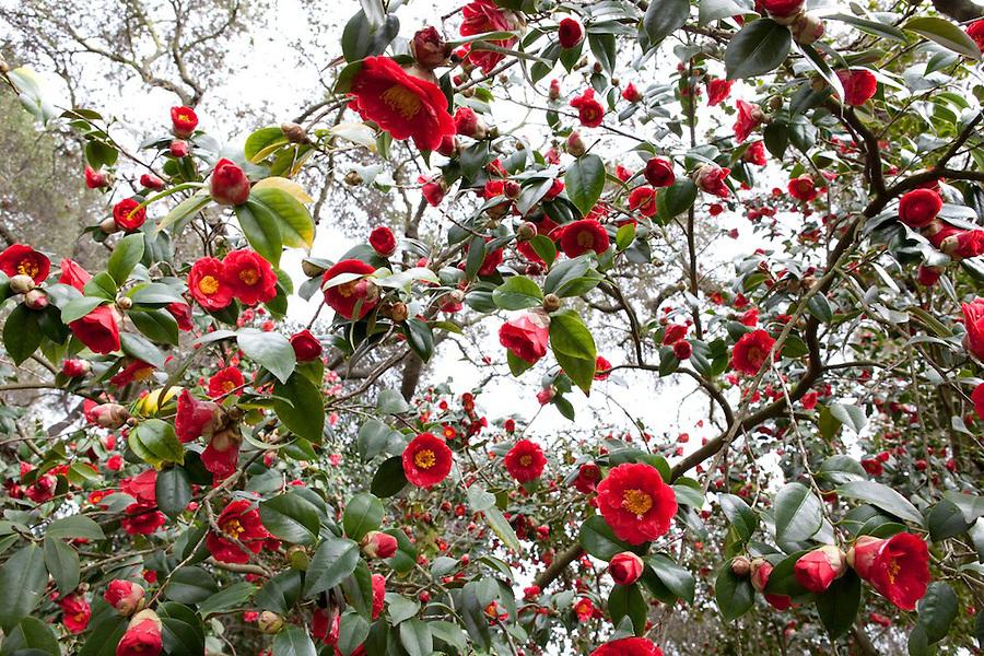 Camellias in Descanso Gardens, La Canada Flintridge, California, USA