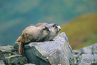 Hoary Marmot, Denali National Park, Alaska