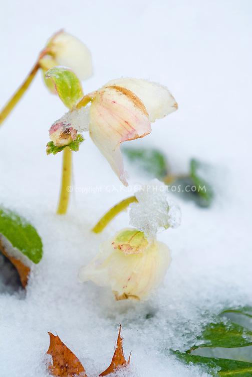 Helleborus in winter snow ice,  cream with pink flowers, perennial winter blooming hellebores