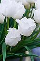 Tulip 'Honeymoon (Fringed Group), mid May.