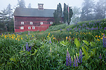 Lupines and Polly's red barn in Sugar Hill, NH, USA