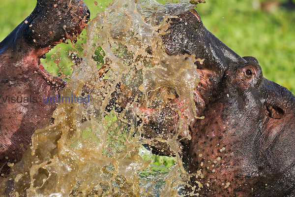 Hippopotamus (Hippopotamus amphibius) males fighting in water, Masai Mara National Reserve, Kenya, Africa.