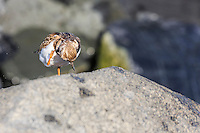 Ruddy Turnstone Scratching it's head on the jetty at Oregon Inlet North Carolina.