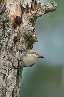 561210004 a wild brown-headed nuthatch sitta pusilla perches on a long-leaf pine pinus palustris in the angelina national forest in jasper county east texas