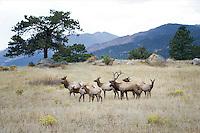 Herd of Elk in Rocky Mountain National Park