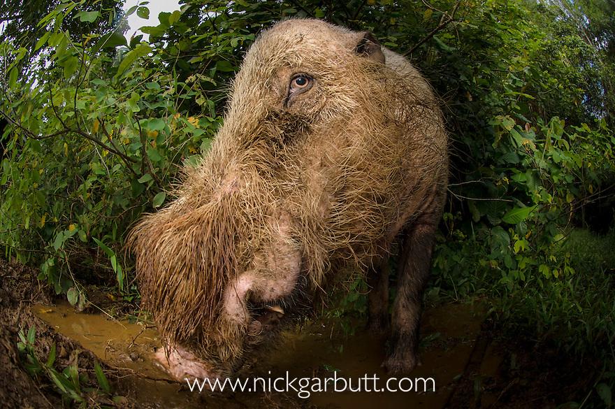 Male Bearded Pig (Sus barbatus) at forest wallow. Bako National Park, Sarawak, Borneo.