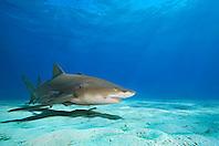 Lemon Sharks, Negaprion brevirostris, and Sharksuckers, Echeneis naucrates, West End, Grand Bahama, Atlantic Ocean